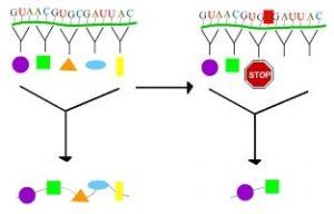 type of genetic mutation: Stop codon mutation