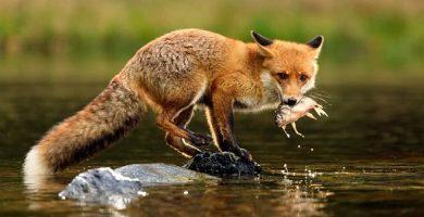omnivorous animals fox hunting fish
