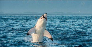 carnivorous animals great white shark