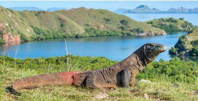 Komodo dragon - wild animals