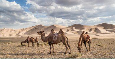 Desert Animal - Camel