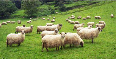 Pets - sheep