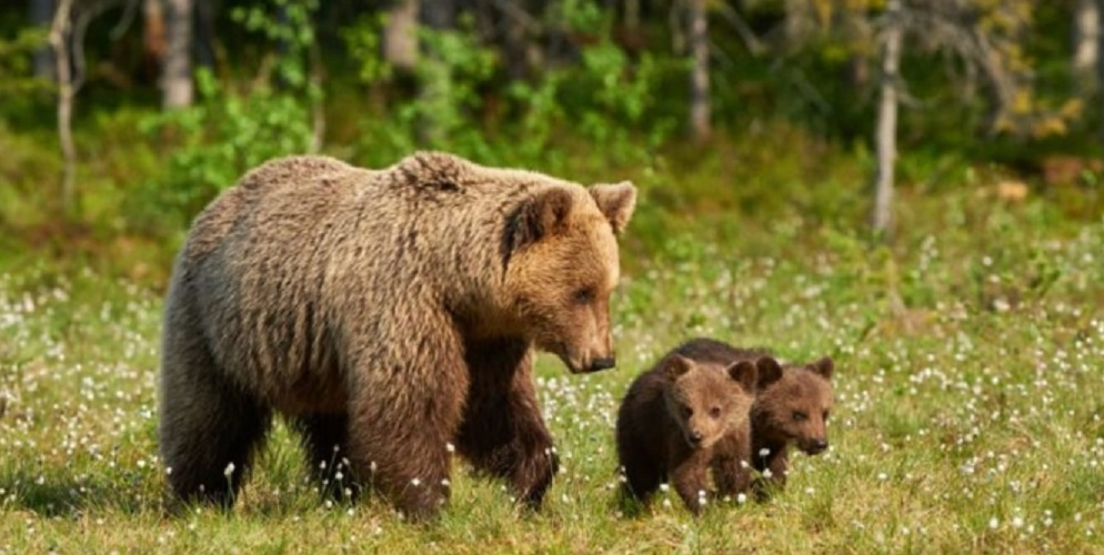 Climate And Animals Of Taiga: taiga biome forest wildlife bear