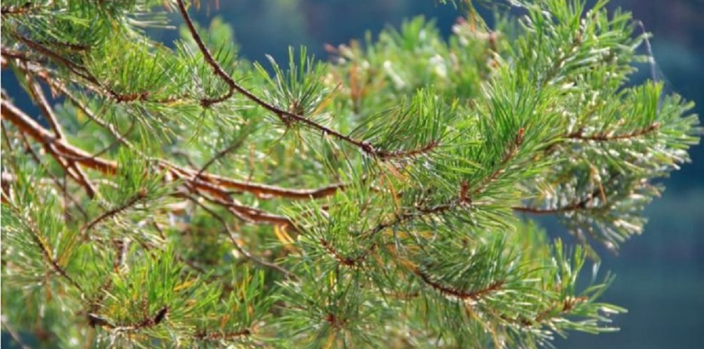 taiga biome forest conifera thorns flora