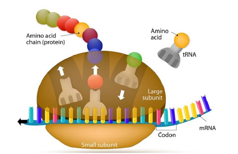 genetic code ribosome