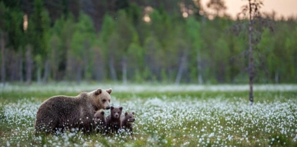 habitat forest bears