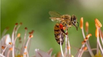 bee - invertebrates