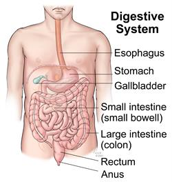 digestive system - organs and parts