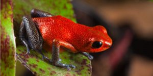 Amphibians - Red-Blue Arrow Frog