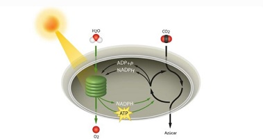 photosynthesis calvin autotroph cycle