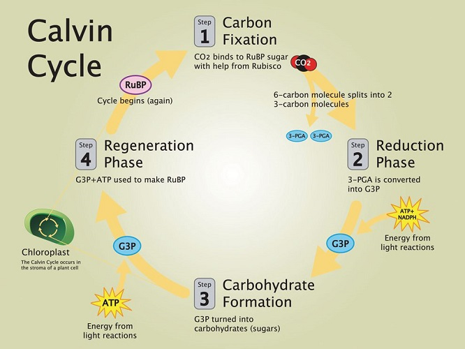 autotrophic calvin cycle