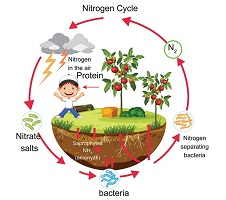 cycle of nitrogen