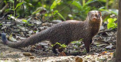 invasive species Indian mongoose