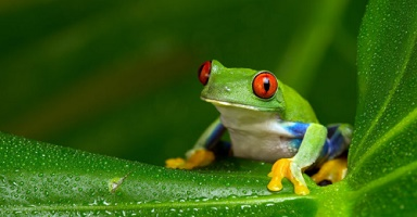Red-eyed Frog - native species
