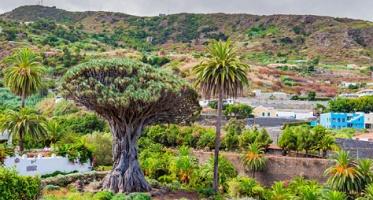 Endemic species - Dragon tree