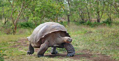 Galapagos turtle - Extinct species