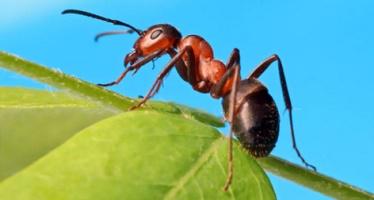 species - ant