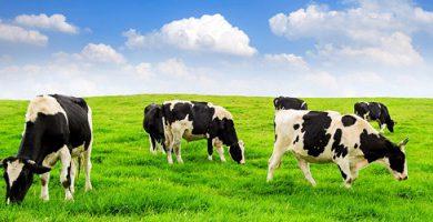 Exotic species - cow