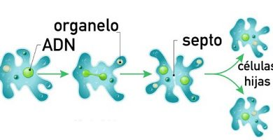 binary fission asexual reproduction amoeba