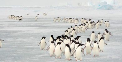 natural phenomena migration penguins