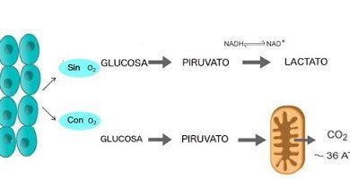 glycolysis-glucose anaerobic aerobic cell