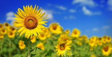 Irritability - sunflowers