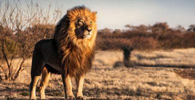 lion savannah africa