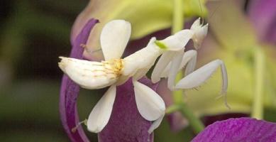 mimicry mantis orchid hymenopus coronatus
