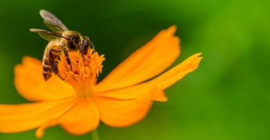 Mutualism - flower and bee