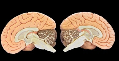 Gray matter - brain