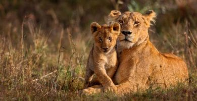 Mammals - Lions
