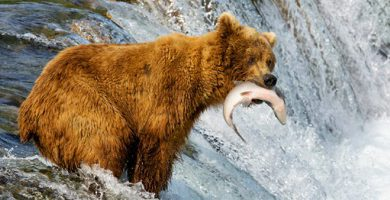 Bear hunting - consumer agency