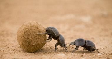 Decomposing organisms - dung beetle