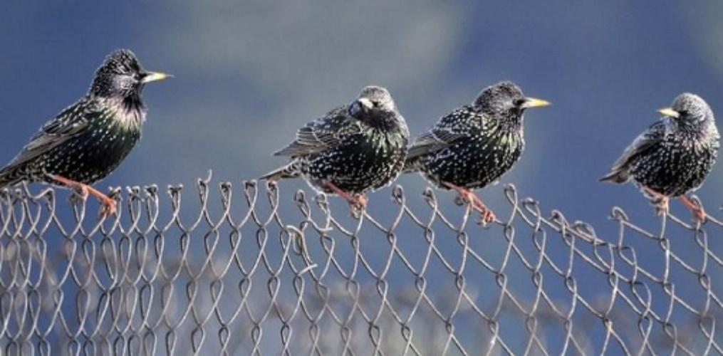 invasive European starling or pinto species