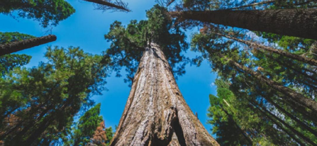 Endemic species - giant sequoia