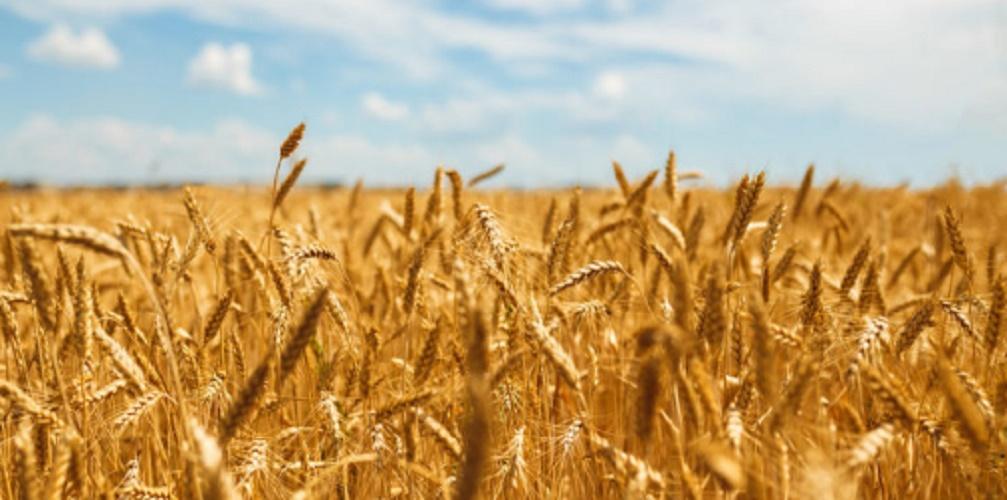 Exotic species - wheat