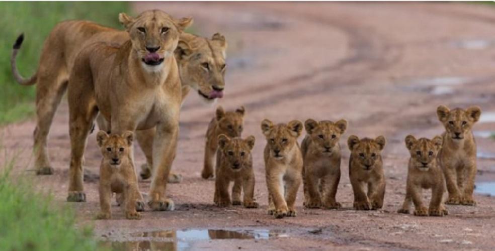 leon herd pups feline