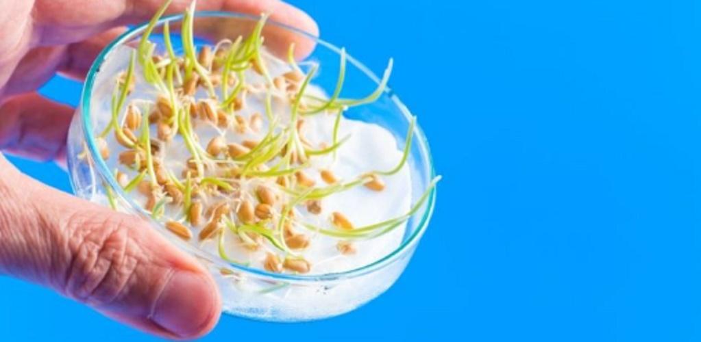 genetically modified organisms ogm transgenic food corn bacteria