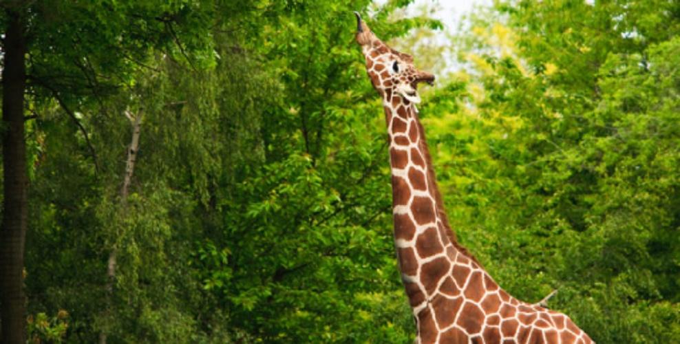 Primary consumer - giraffe