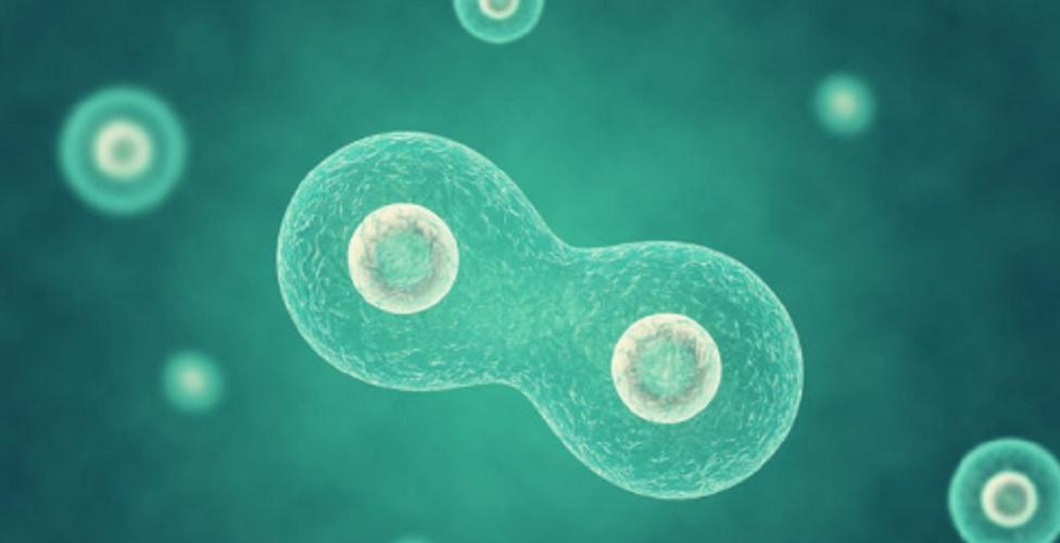 Multicellular organism - cellularization