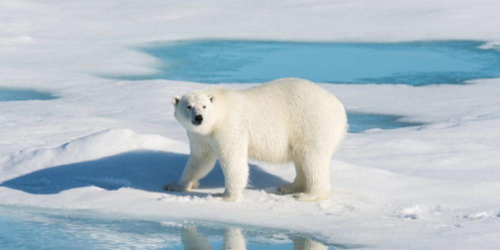 Polar bear - endangered species