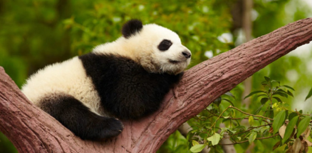 Extinct species - panda
