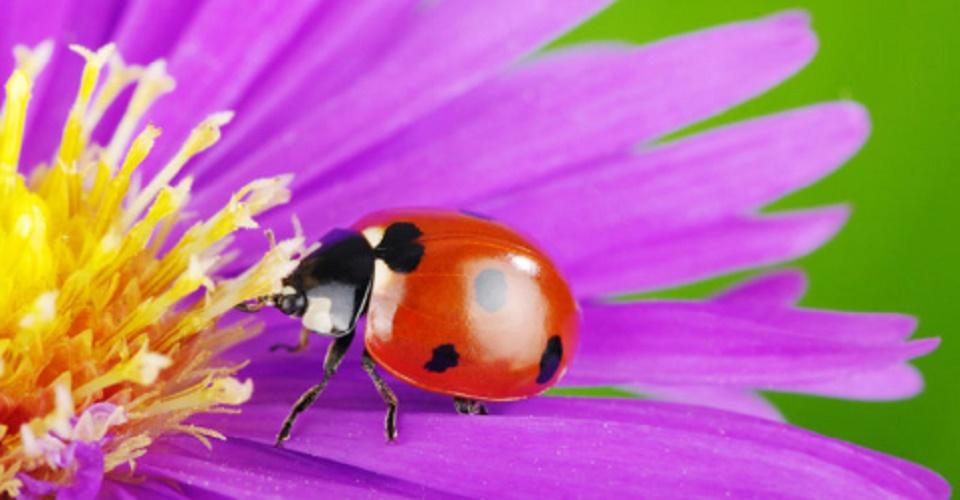 Ladybug - exotic species