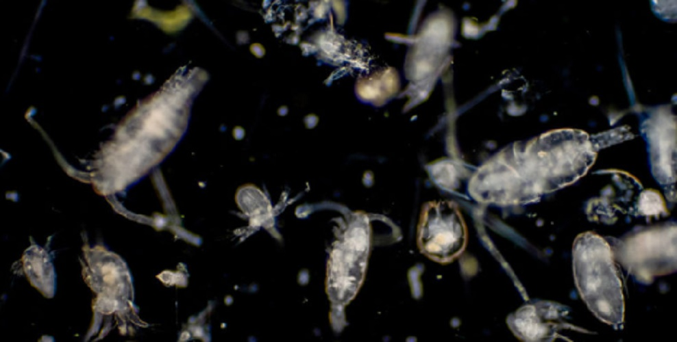 Zooplankton - plankton - phytoplankton