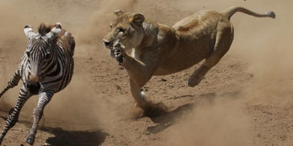 lion carnivore feeding caster predator prey