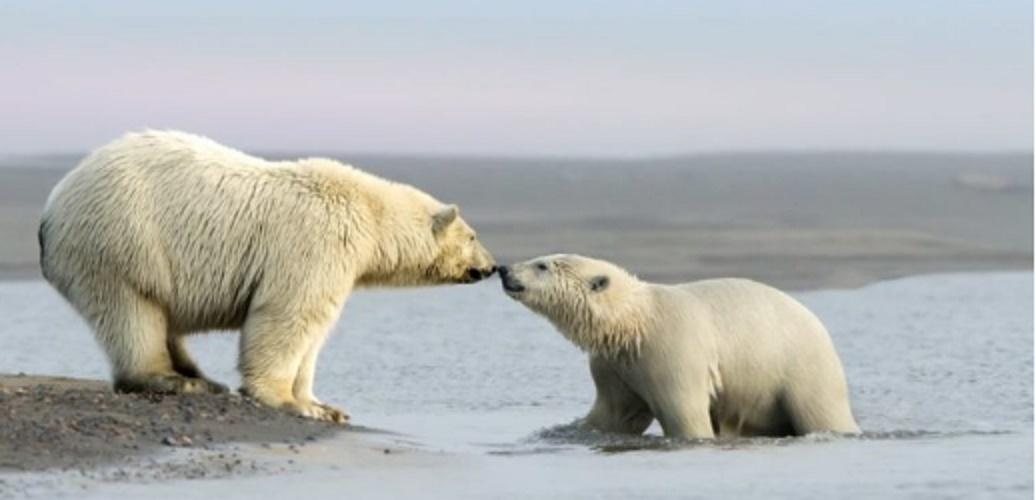 beaufort sea alaska canada polar bear