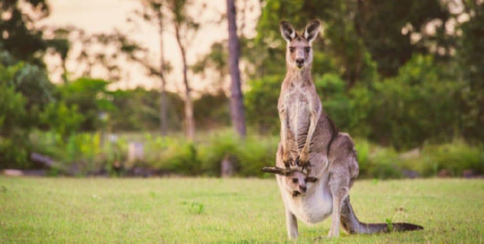 Mammals - Kangaroo