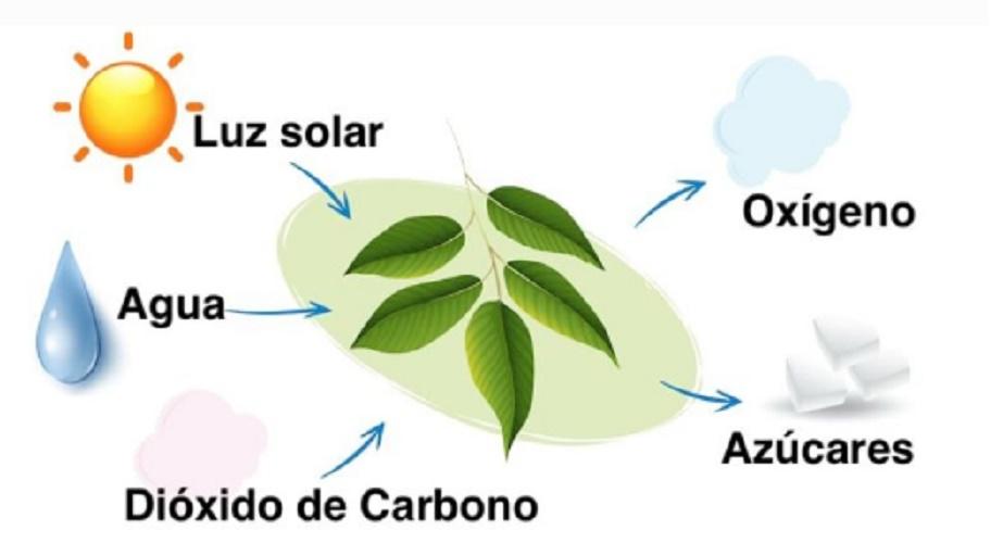 photosynthetic photosynthetic producing organisms