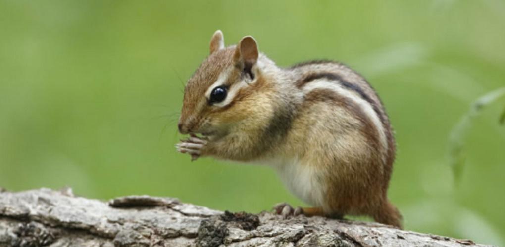 Multicellular organisms - squirrel - animals