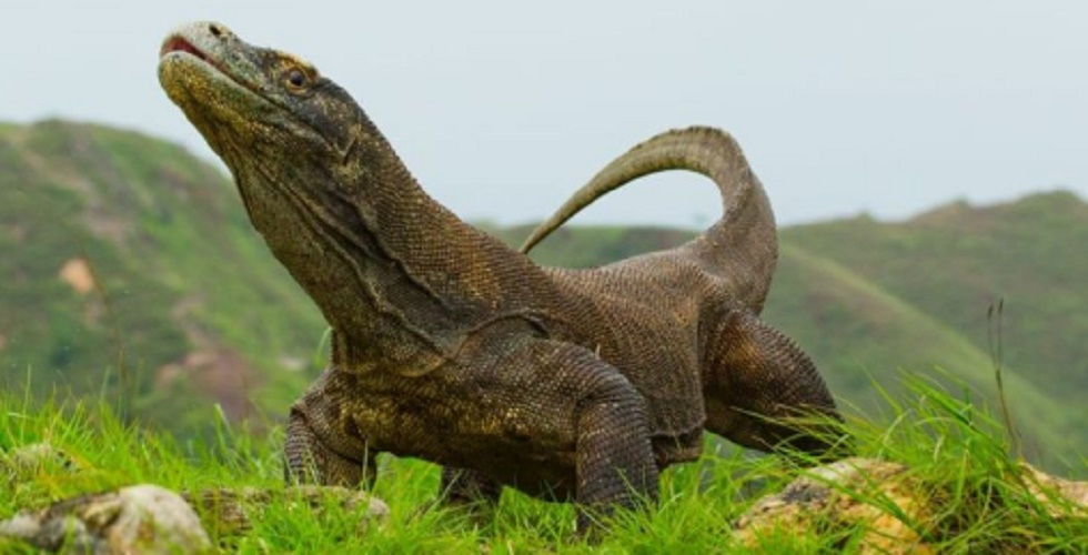 komodo dragon national park